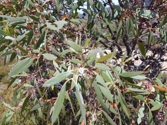 Eucalyptus subcrenulata2