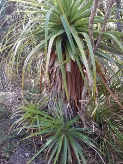 Richea pandanifolia2