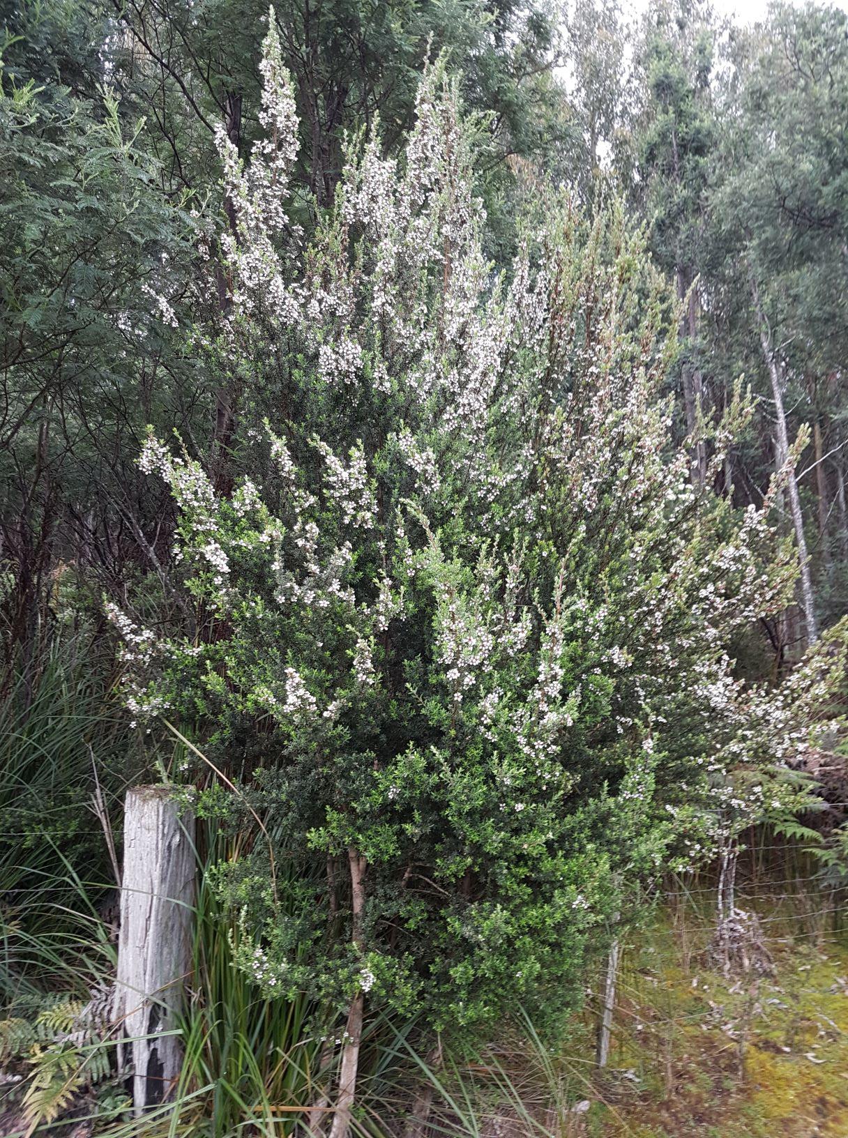 leptospermum lanigerum2